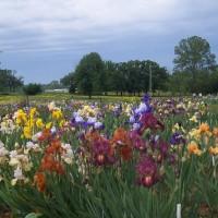 Nanna's Iris Garden